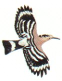 The hoopoe in flight
