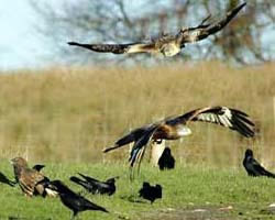 Red Kite feeding station