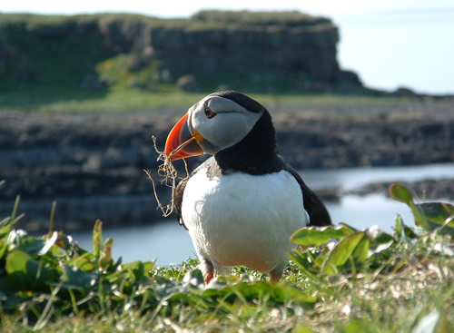 Puffin by Dave Punton
