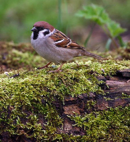 Tree Sparrow by Ashley Dunning