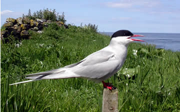 Arctic Tern by Eric Haswell
