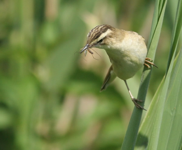 Sedge Warbler by Nicholas Treadwell