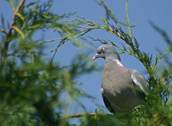 Woodpigeon by David W Oddy