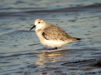 Sanderling by Marc Read