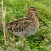 Snipe by Jan Hall