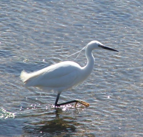 Little Egret by Tess