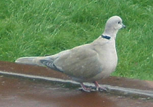 Collared Dove by Annie Hall