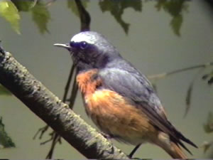 Redstart by Ralph Kearton