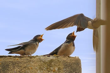 Black-tailed Swallows by Ash Midcalf
